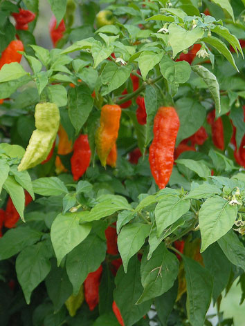 Bengle Naga chilli plant