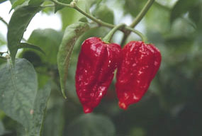 Habanero chillies such as Dorset Naga need a long growing season.