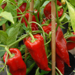 Sweet pepper var. Beja