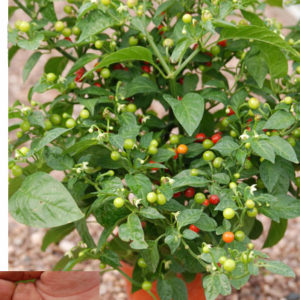 Coffee Bean chilli plant