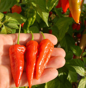 Chillies var. Fire