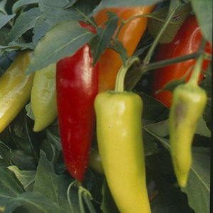 Chillies var. Hungarian Hot Wax