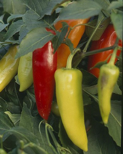 Chillies var. Hungarian Hot Wax