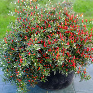 Large Rooster Spur chilli plant