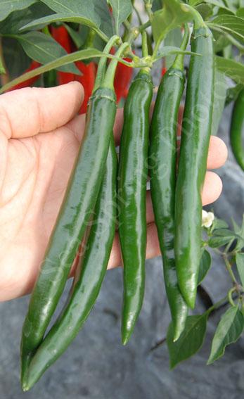 Thai Green Curry chillies