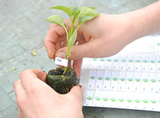 Labelling a sweet pepper plug plant.