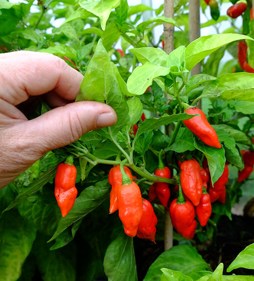 Superhot chillies var. Dorset Zinger