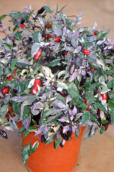 Calico chilli plant with variegated leaves