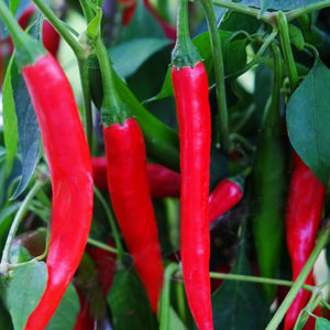 Cayenne chilli var. Holy Peak
