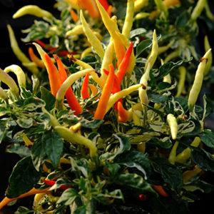 Hot Palette chilli plant