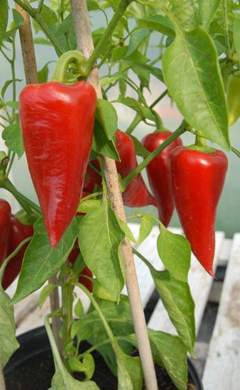 Sakura sweet peppers