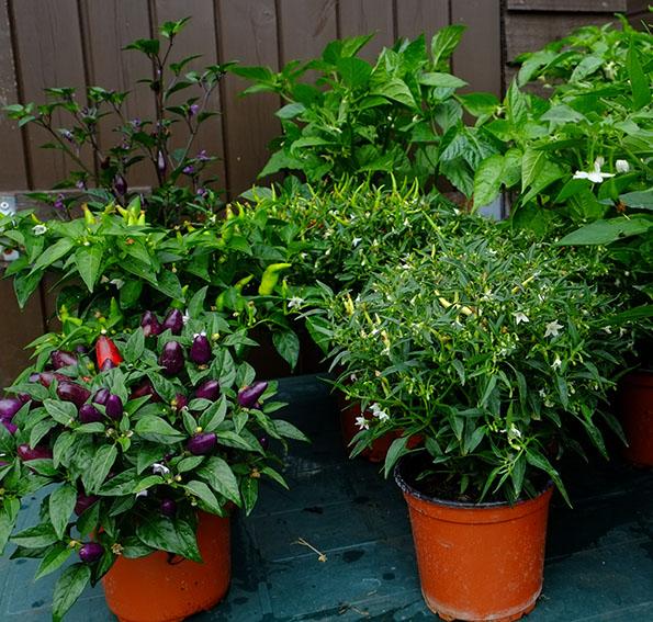Chilli plants in 1 litre pots